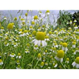 Chamomile Seeds- German- Heirloom Herb- 500+ Seeds