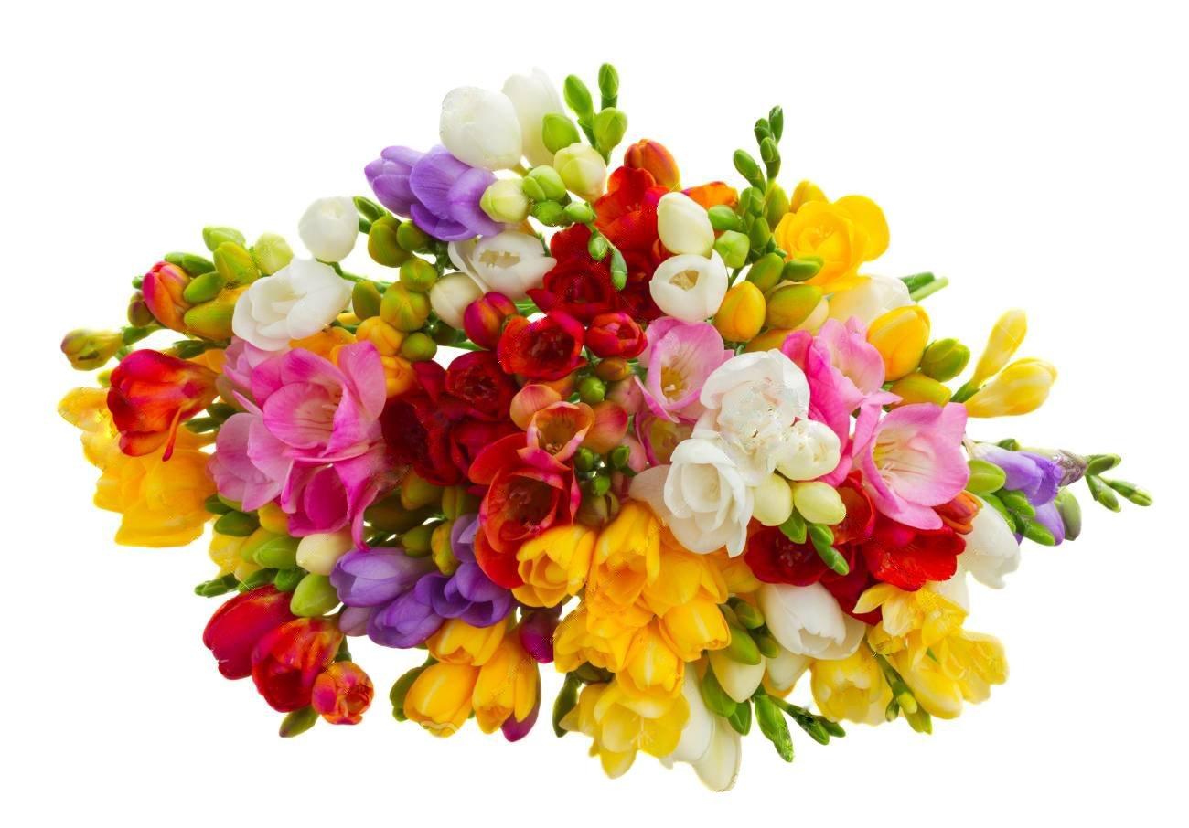 Freesia flowers amazon 12 single mixed freesias bulbs top size bulbs izmirmasajfo