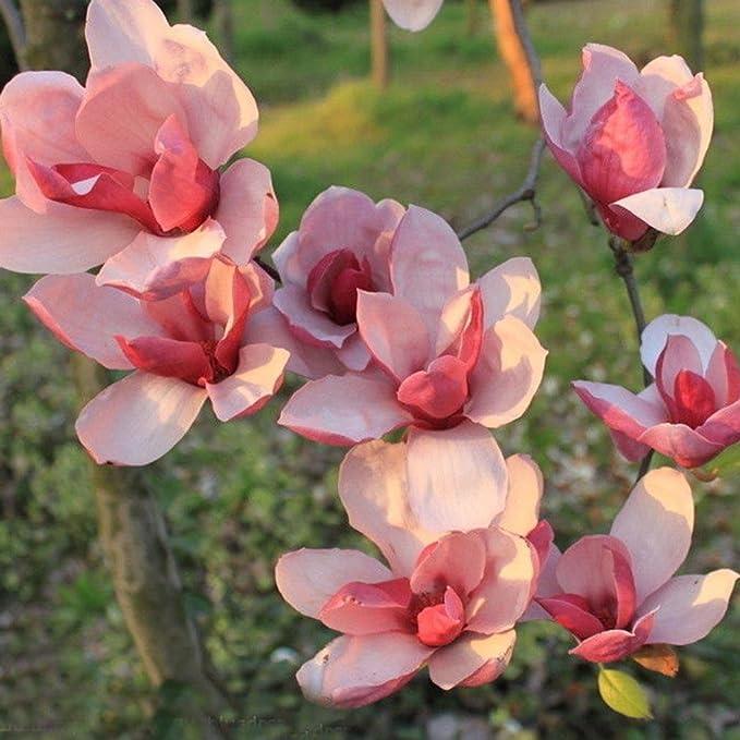 FastDirect Semillas de Magnolia Multicolor Semillas de Flores 20 ...
