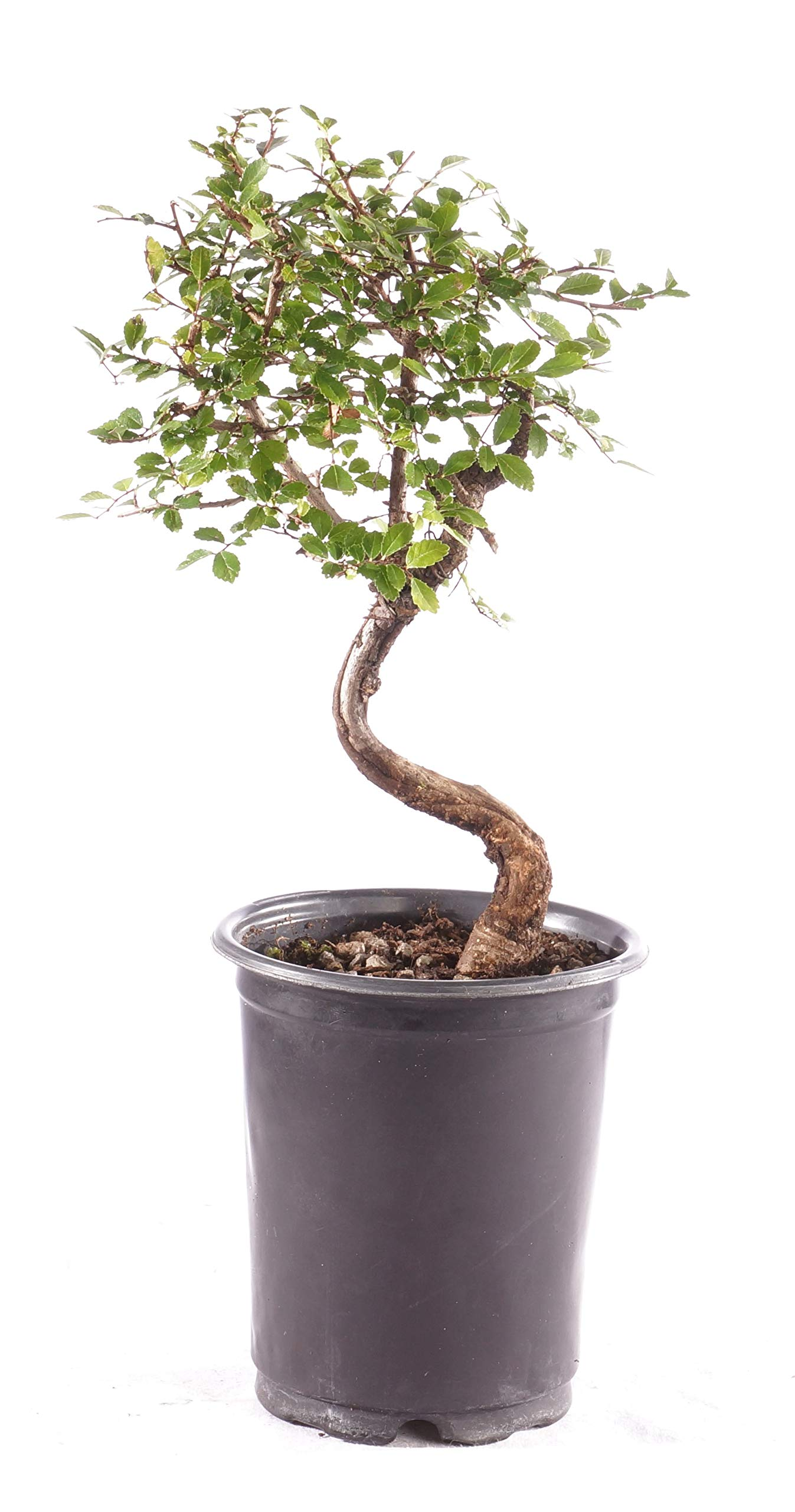Brussel's Bonsai Live Chinese Elm Outdoor Bonsai Tree 5 Years Old; 6'' - 8'' Tall in Plastic Grower Pot, Small