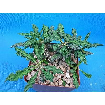 """Euphorbia decaryi (spirosticha) - Brown Flowers - 4-5 Plants in 3.25"""" Pot : Garden & Outdoor"""