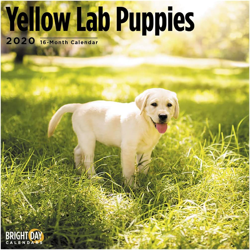 Amazon Com 2020 Yellow Lab Puppies Wall Calendar By Bright Day 16 Month 12 X 12 Inch Cute Dogs Puppy Animals Military Police Rescue Canine Office Products
