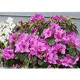 Lavender Bloom-A-Thon® Everblooming Azalea - Everblooming - Proven Winners