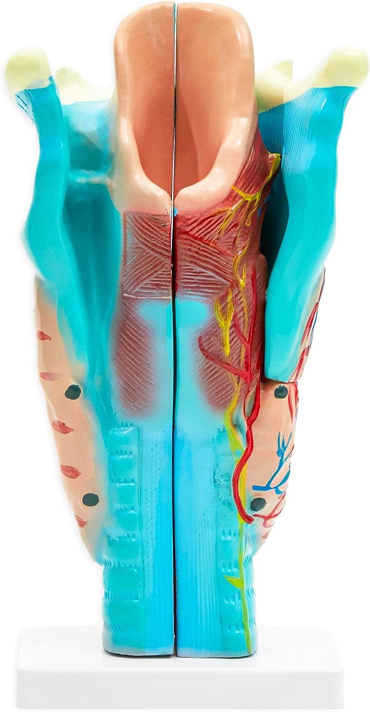 Human Larynx Anatomy Model (4.5 x 4.2 in, 3 Parts)