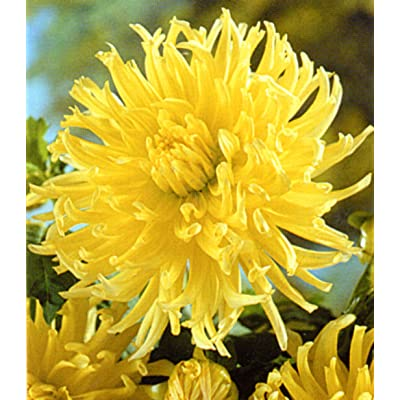 1 Cactus Dahlia Yellow Star bulb : Garden & Outdoor