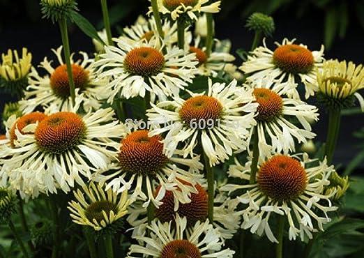 Nuevo hogar jardín de plantas trepadoras 30 semillas Semillas Ajedrea Satureja Montana flor de la hierba: Amazon.es: Jardín