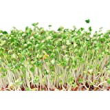 Broccoli Sprouting Seeds 3000+ Certified Organic -Grow Broccoli Sprouts Yourself