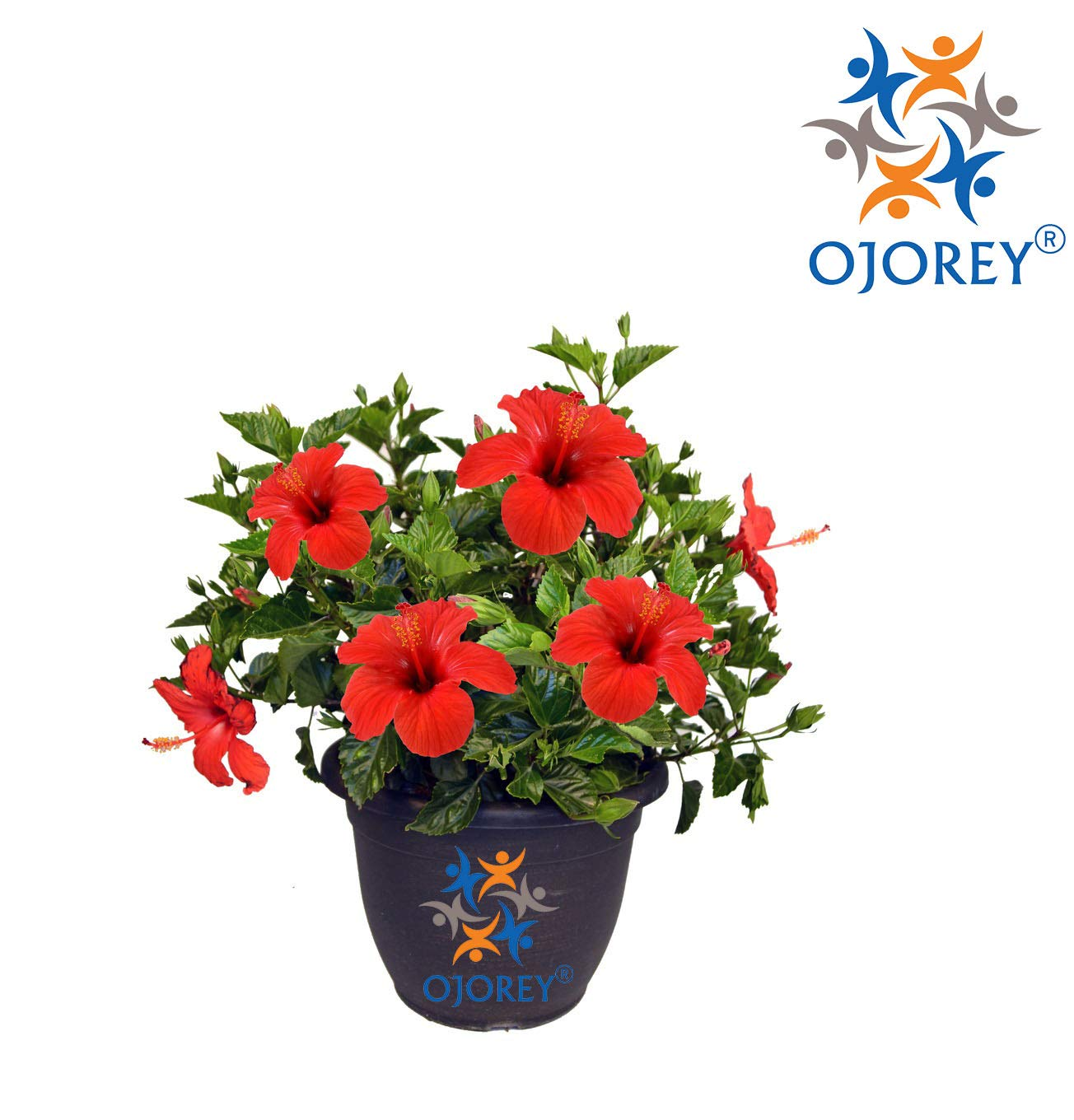 Natures Buggy Hibiscus Live Plant