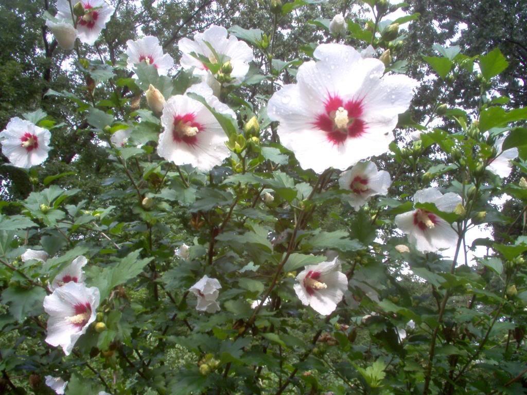 50 WHITE & HOT PINK ROSE OF SHARON HIBISCUS Syriacus Flower Tree Bush Shrub Seeds Mix *Comb S/H