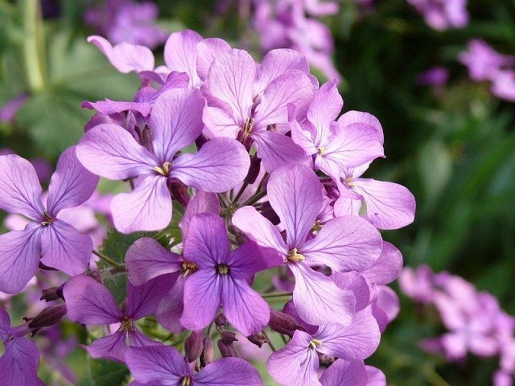 Evening Scented Stock- 100 Seeds - 50 % off saleEvening Scented Stock- 100 Seeds - 50 % off sale