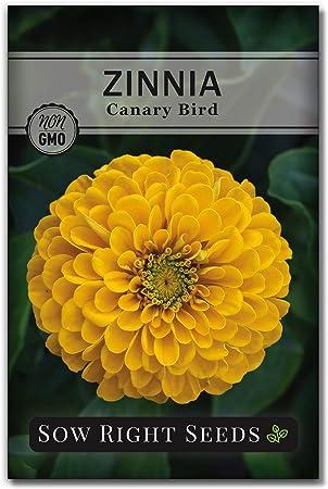 ZINNIA CANARY BIRD Zinnia Elegans 100 Seeds