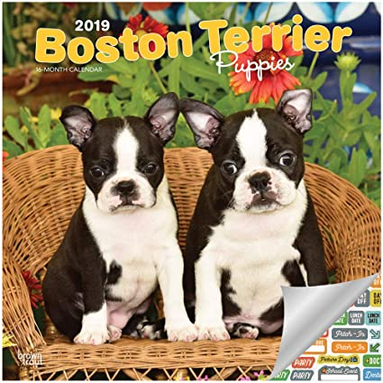 Boston Calendar 2019 Amazon.: Boston Terrier Puppies Calendar 2019 Set   Deluxe