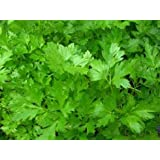 Parsley Italian Non GMO Heirloom Leafy Garden Herb 100 Seeds by Sow No GMO