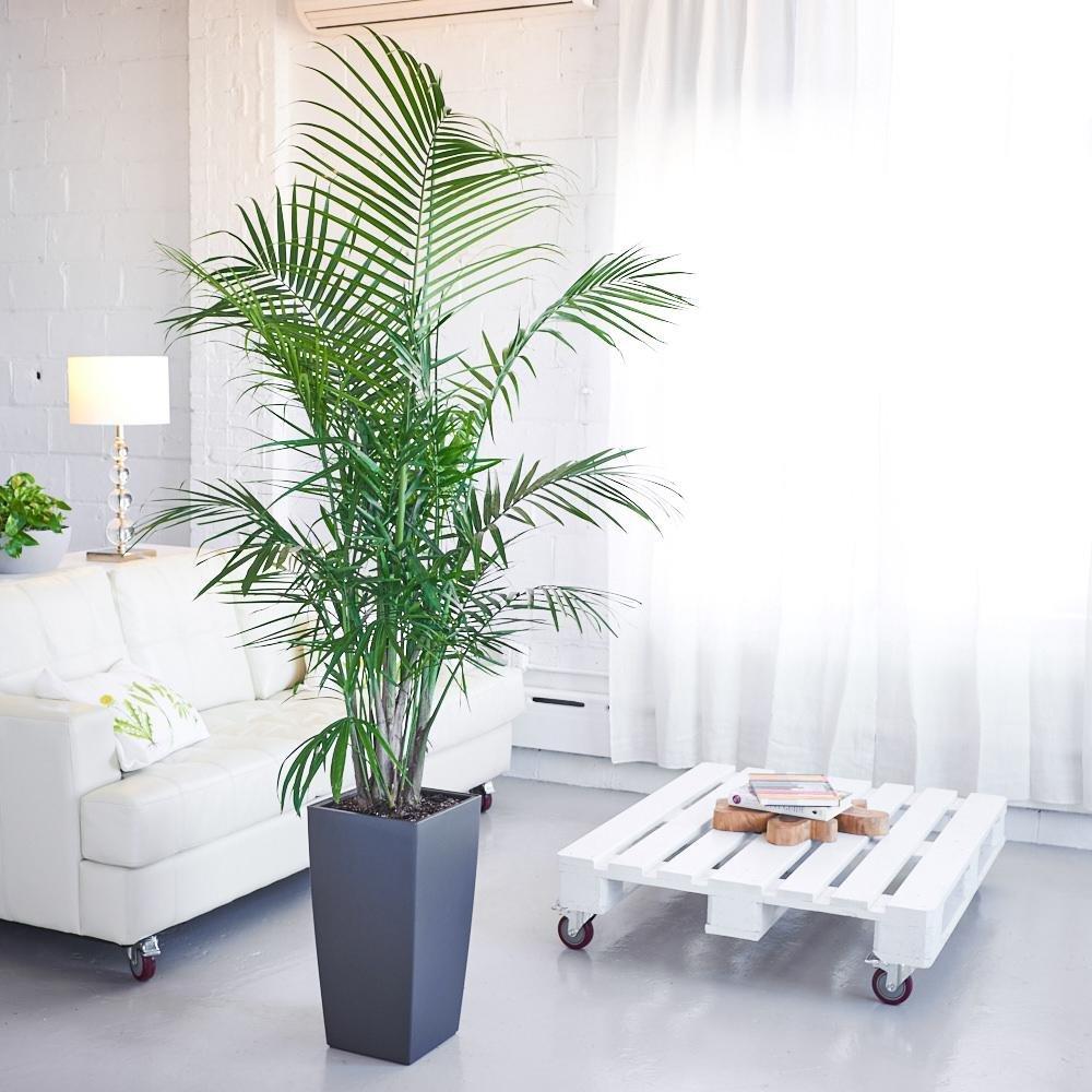 Majesty Palm Tree, 10'' Pot 4-5' Tall