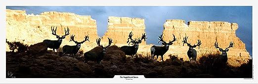 Mule Deer and Whitetail Deer Print by Robert King Turf Wars