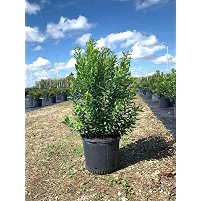 Wax Myrtle : Garden & Outdoor