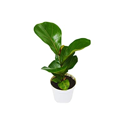 "Ficus Lyrata Plant - in 4"" Pot / 'Fiddle Leaf Fig' : Garden & Outdoor"