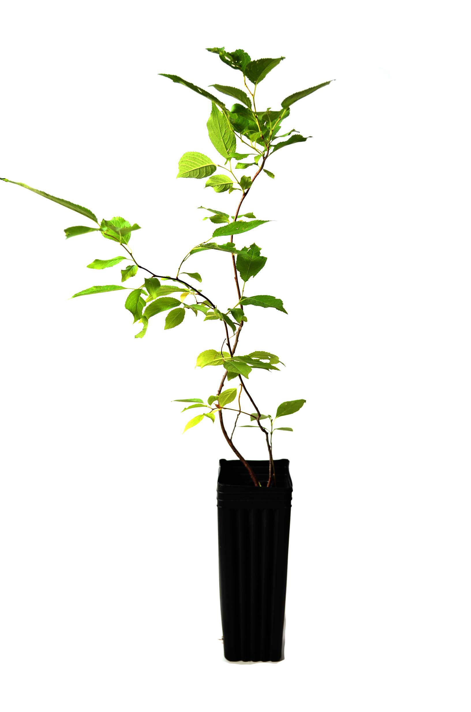 TreesAgain Potted Wild Plum Tree - Prunus americana - 6 to 11+ inches (See State Restrictions)