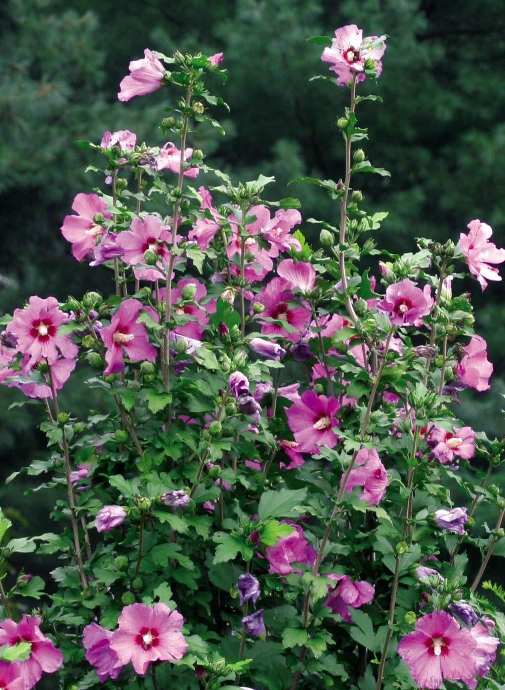 Hardy Hibiscus Plant Hibiscus syriacus Lavender Chiffon (Rose of Sharon) Shrub, Lavender Flowers, 1 Gallon Pot - Perennial