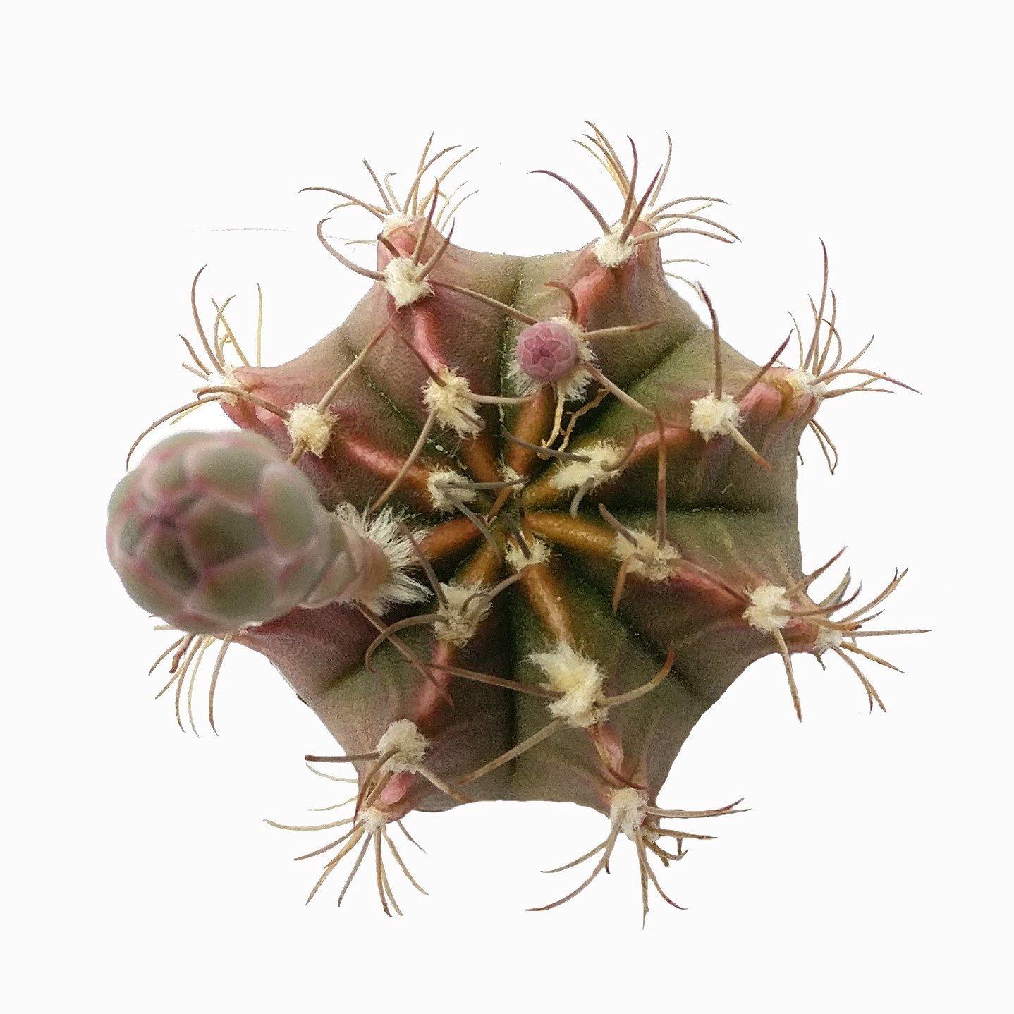 Britton & Rose Gymnocalycium mihanovichii Cactus (2 inch)