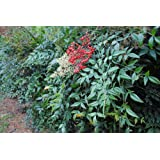 "Nandina Domestica Shrub - Heavenly Bamboo - Healthy Plant - 2 1/2"" Potted Shrub - 3 Pack"