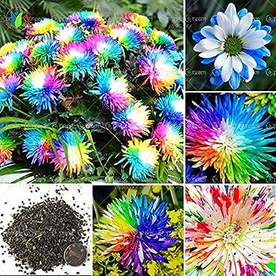 100 / bolsa de semillas crisantemo del arco iris flor, color raro, nueva llegada de plantas de flores jardín de DIY: Amazon.es: Jardín