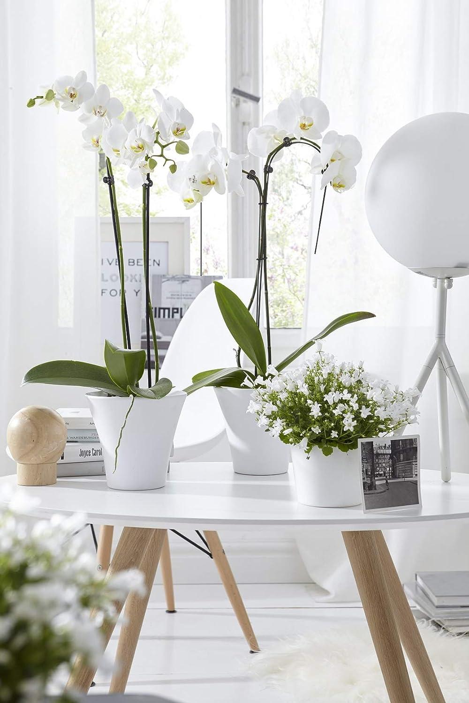 /Ø Topf 12 cm Dehner Schmetterlingsorchidee Zimmerpflanze zweitriebig ca 50-60 cm rosa Bl/üten