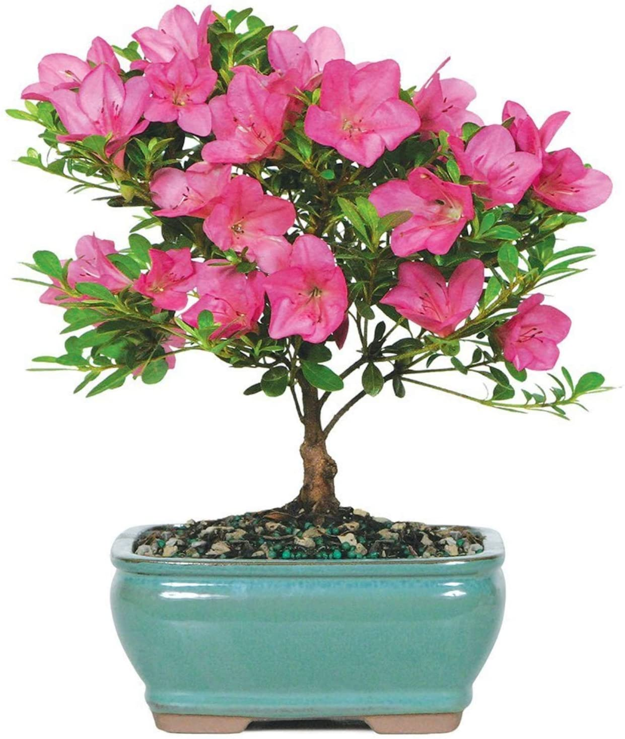 Amazon Com Brussel S Live Satsuki Azalea Outdoor Bonsai Tree 5 Years Old 6 To 8 Tall With Decorative Container Garden Outdoor