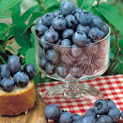 2 BLUEBERRY PLANTS - Bluecrop - Organic - ORDER NOW for FALL SHIPPING !!! : Garden & Outdoor