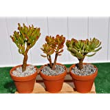 Crassula Ovata Jade Collection 3 Plants Great for Bonsai, House/Office Plant