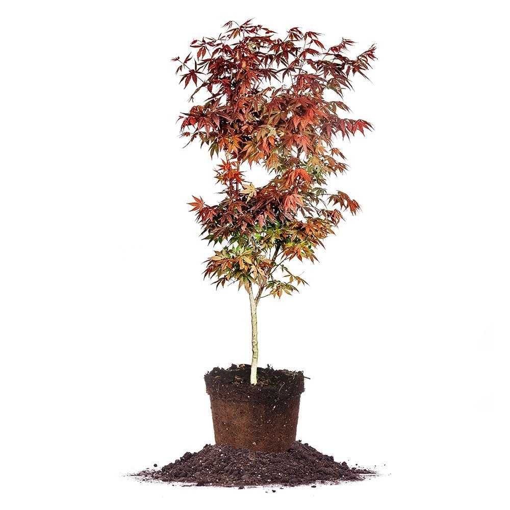 Bloodgood Japanese Maple - Size: 3-4 ft, live plant,  includes special blend fertilizer & planting guide