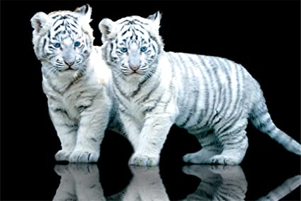 White Tiger Cubs Baby Animal Photography Decorative Art Poster Print 24x36