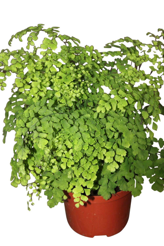 Indoor Plant - Adiantum Raddicons 'Fragrans'- Maiden Hair Fern -Large Bushy House Plant Approx 40cms Tall Olive Grove
