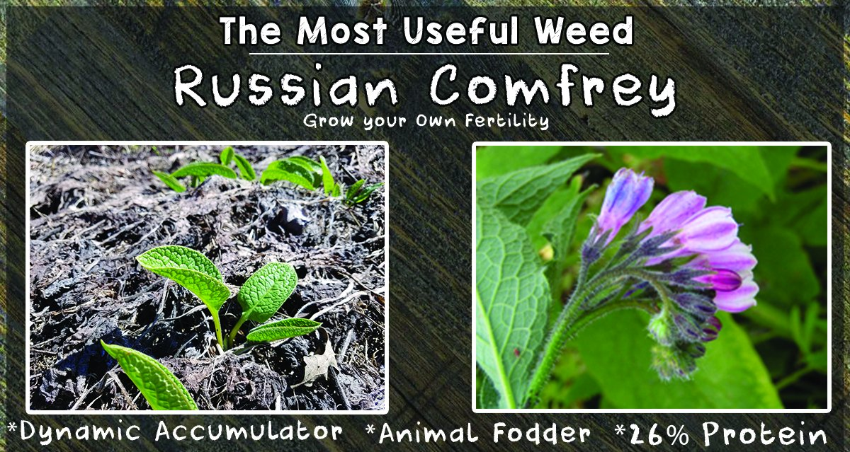 Bocking 14 Russian Comfrey - 12 Live Root Cuttings | by Marsh Creek Farmstead by Marsh Creek Farmstead (Image #7)