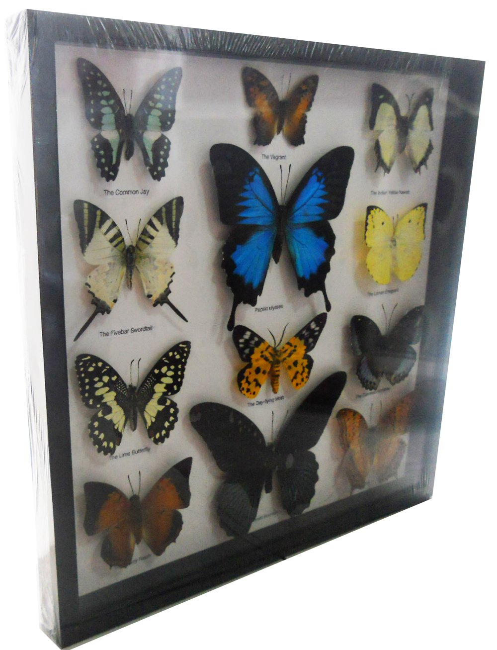 Amazon.com - REAL 12 MIX BEAUTIFUL BUTTERFLY IN FRAME DISPLAY INSECT ...