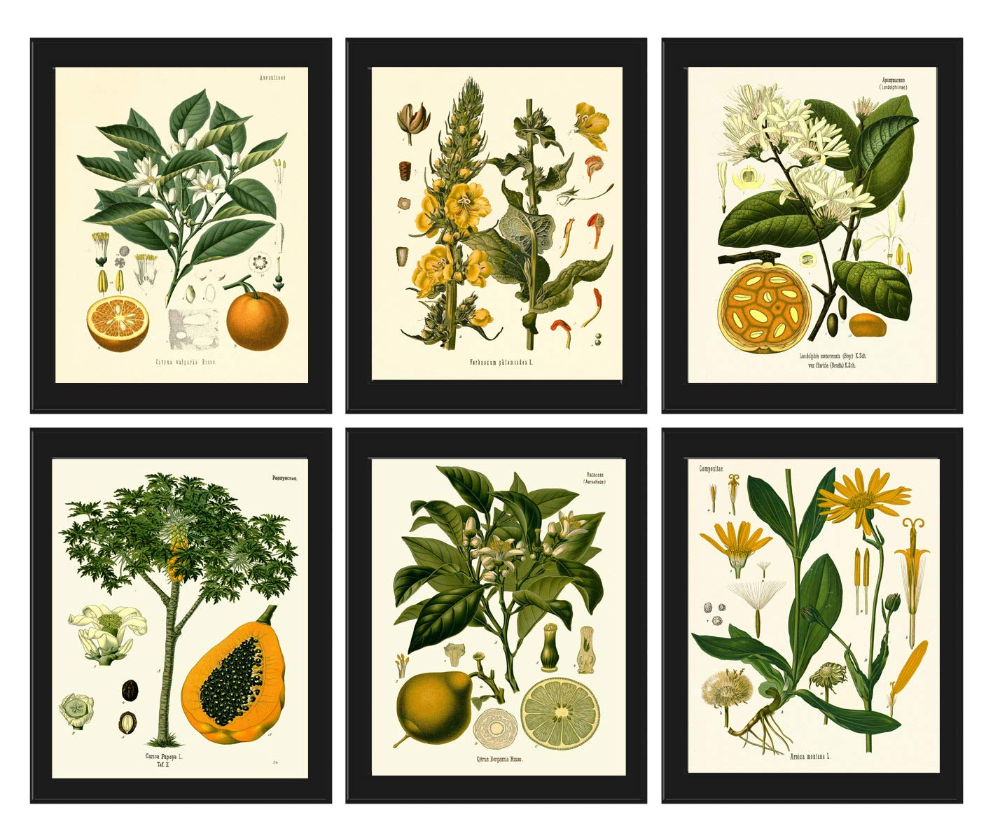 Botanical Set of 6 Prints Antique Beautiful Orange Papaya Lime Tropical Fruit Flowers Home Room Decor Wall Art Unframed