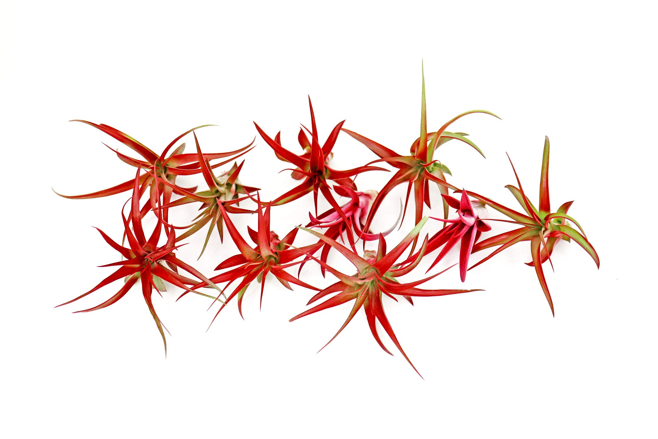 10 Live Air Plants | Bright Red Tillandsia Air Plant Pack | Colorful Indoor Plants | Real Houseplants | Easy Terrarium Decor Kit by Plants for Pets by Plants for Pets (Image #4)