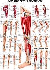 Anatomical Worldwide CH11 The Human Eye Laminated Anatomy Chart