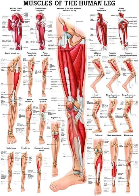 los músculos principales de las piernas