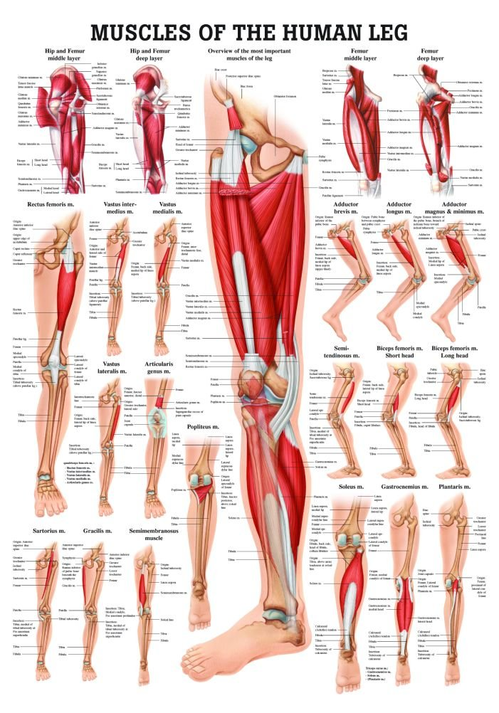 Amazon Muscles Of The Leg Laminated Anatomy Chart By Anatomical