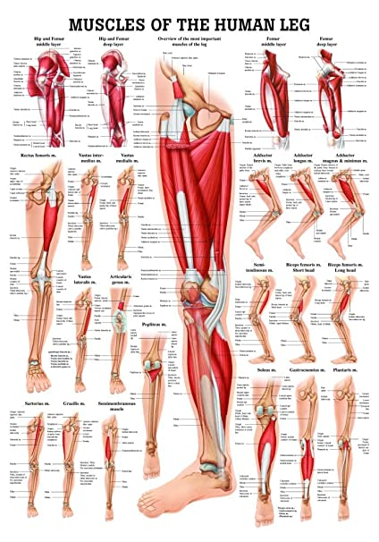 Amazon Muscles Of The Leg Laminated Anatomy Chart By Anatomical