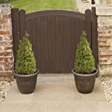Pair of Buxus Topiary plants Pyramids 45/50cm tall