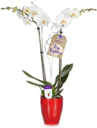 Hallmark Flowers Holiday Double Spike White Orchid with Silver Decoration in 5-Inch Red Ceramic Container