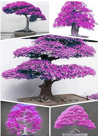 50 Samen / Packung 100% Echte japanische Lila Maple Bonsai-Baum ...