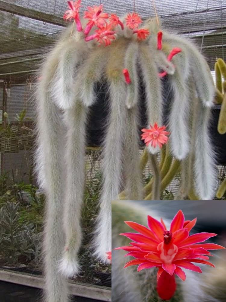 10 graines Fleurs rouges Hildewintera Colademononis Singe Superbe queue de cactus