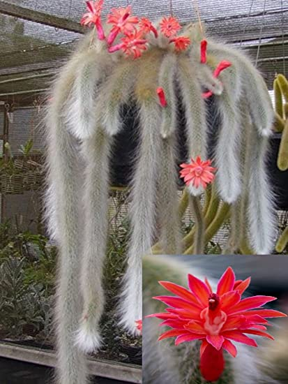 Amazon hildewintera colademononis stunning monkey tail hildewintera colademononis stunning monkey tail cactus red flowers 10 seeds mightylinksfo