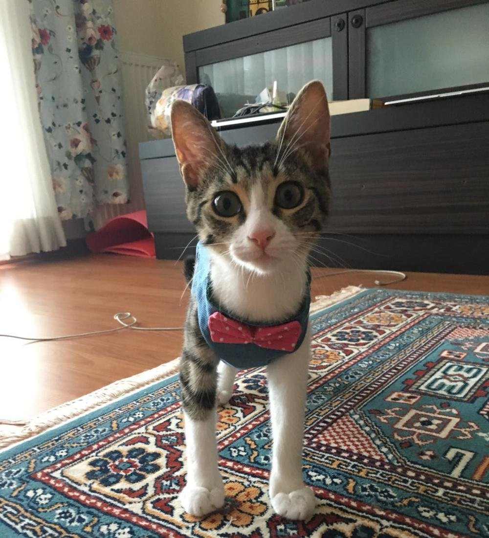 Amazon.com: Stock Show - Chaleco arnés para gatos y perros ...