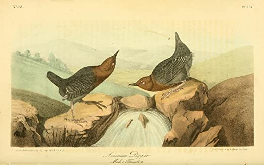 Red Wing Blackbird Redwing Starling Audubon Bird Print Picture Poster