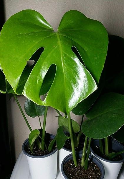 Amazon.com: Monstera deliciosa, plantas exóticas de 10,16 y ...