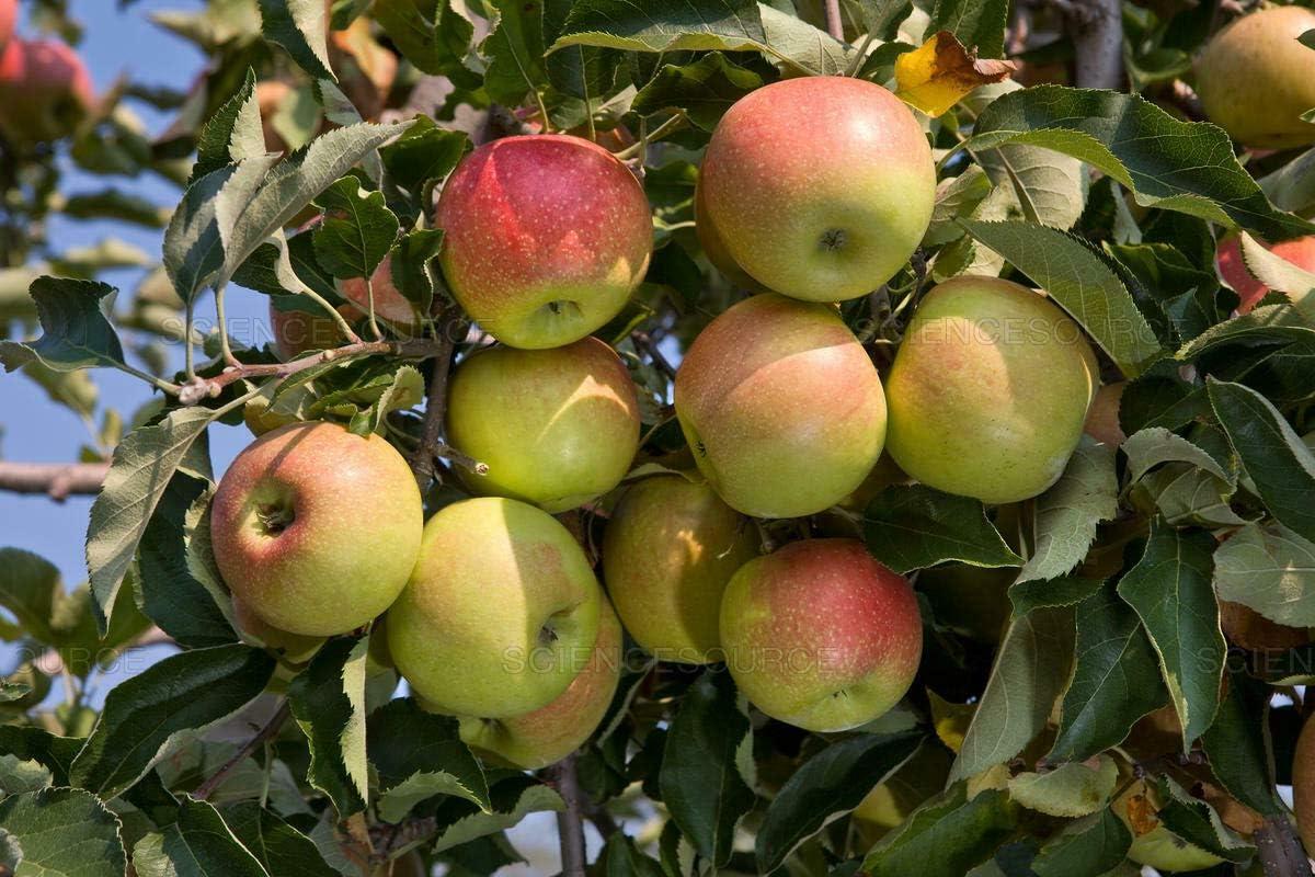Live Plant - JonaGold Apple (YNKS) Tree - Healthy Established 1 Plant 1 in Gallon, Tree, Fruit, Flower, Plant